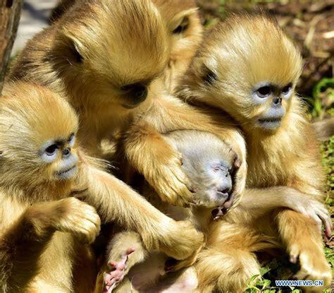 Figure 2: Photo of Hubei monkeys (Huaju, 2016)