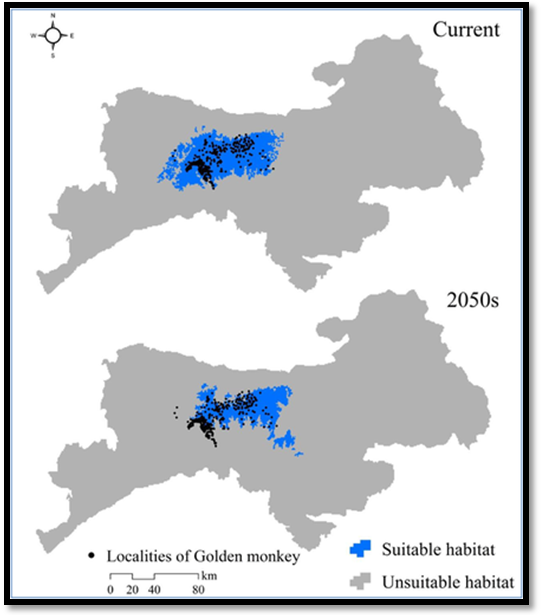 Figure 5: Predicted suitable habitat of Sichuan golden monkey under current and the 2050s' climate scenarios in (秦岭)Qinling Mountains (Li, 2018).