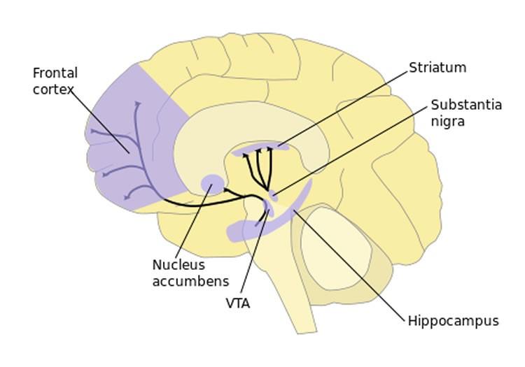 Source: Ventral striatum and prefrontal cortex / https://neurosciencenews.com/neurobiology-psychology-trust-2426/
