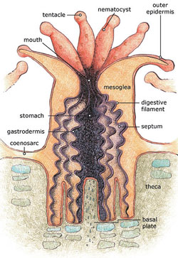 Figure 1: Anatomy of a polyp [8]