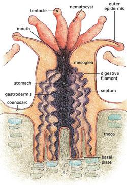 Figure 1: Anatomy of a polyp [8]